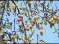 府谷:海红果产业助力农民增收