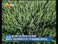 西北农林科技大学6个小麦品种通过国家审定